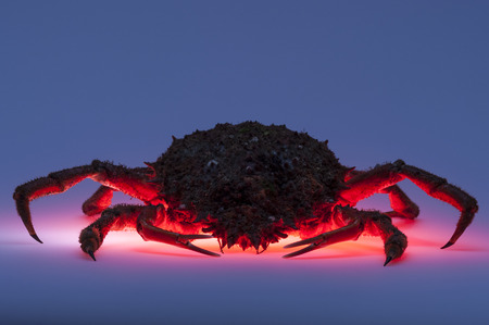 forerunner: Forerunner a pleasant trip  Multi colored backlit effect of full length European spider crab  Maja Squinado   Creative and saturated colors