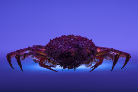 forerunner: Blue backlit effect on European spider crab  Maja Squinado   Creative lighting reintroduces artificially the crustacean into the world of sea  Stock Photo