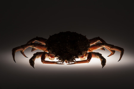 forerunner: In shadow figure  a scary and appetizing European spider crab  Maja Squinado  with open claws  Shooting studio on white background with small backlighting  Stock Photo