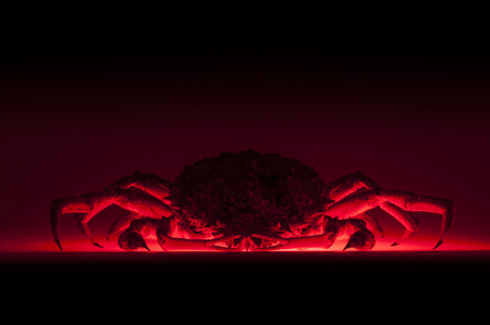 forerunner:  Spider crab baking  Scary European spider crab  Maja Squinado  in studio with copy space  Red backlit effect reminds a cooktop  Stock Photo