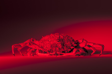 forerunner: Spider crab baking  Red and hot lighting for European spider crab  Maja Squinado  in studio