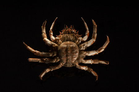 determines: Female  the oval abdominale tongue determines her  lies on its back  Below view full length of an appetizing orange European spider crab  Maja Squinado  on black background with copy space  Stock Photo
