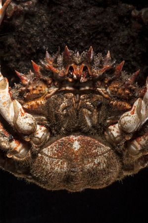 sigmoid: Below view of spider crab head with sigmoid notch open  Spines details of shell with macro lens  European spider crab  Maja Squinado  in studio  Spiny and hairy aquatic animal