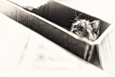 birman kitten: A seal tortie point Birman cat playing inside a box  Black and white fine art portrait of purebred cat  Nine months old