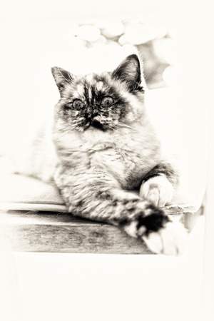 birman kitten: Closeup of a seal tortie point Birman female cat stretched out on a chair  Black and white fine art portrait of purebred cat  Nine months old Stock Photo