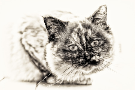birman kitten: Focus on the head of a seal tortie point Sacred cat of Burma female looking at camera  Black and white fine art portrait of purebred cat  Seven months old  Stock Photo
