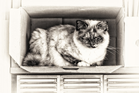 birman kitten: A seal tortie point Birman female cat perched inside a box  Black and white fine art portrait of purebred cat  Thirteen months old Stock Photo