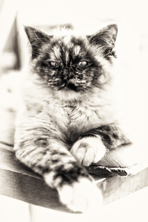 lascivious: Closeup of a seal tortie point Birman female cat stretched out on a chair  Black and white fine art portrait of purebred cat  Nine months old Stock Photo