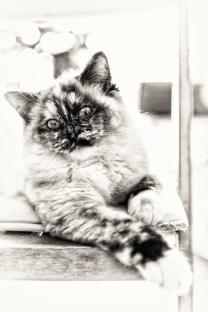 Closeup of a seal tortie point Birman female cat stretched out on a chair  Black and white fine art portrait of purebred cat  Nine months old Stock Photo