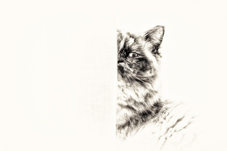 birman kitten: Closeup of a seal tortie point Sacred cat of Burma female looking at camera masked partially by curtains  Black and white fine art portrait of purebred cat  Seven months old