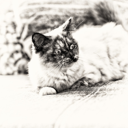 birman kitten: Focus on the head of a seal tortie point Birman female cat lengthened out on sofa  Black and white fine art portrait of purebred cat  Ten months old