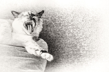 Closeup of a seal tortie point Birman female cat yawning on a pillow of the sofa  Black and white fine art portrait of purebred cat  One year old  photo