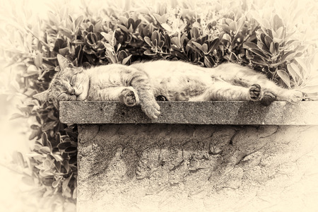 couch potato: An adult tabby cat sleeping with sunbathing lengthened on a low wall  Black and white fine art portrait of domestic cat