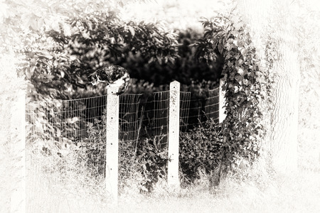 An adult female tortoise-shell cat perched on a concrete post  Between two gardens separated by a wire netting the cute cat is prowling  Black and white fine art portrait of domestic cat  photo