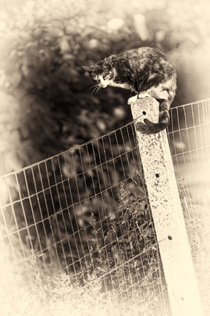 Between two gardens an adult tortoise-shell female cat perched on a concrete post asleeping  Sepia toned fine art portrait of domestic cat  photo