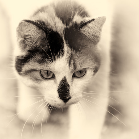 domestic animal: Closeup on head cat  This domestic animal walking slowly  Black and white fine art outdoors portrait of mixed-breed cat