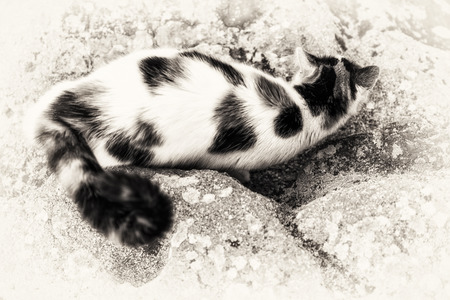 bird view: One cat on bird view is prowling on a rock with some mimicry  Black and white fine art outdoors portrait of domestic cat