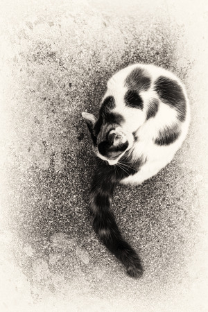 A cute hybrid cat grooming itself on a rock Black and white\ fine art outdoors portrait of domestic cat