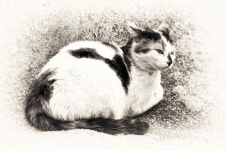 calico whiskers: A cat prowling on a rock  Black and white fine art outdoors portrait of domestic cat