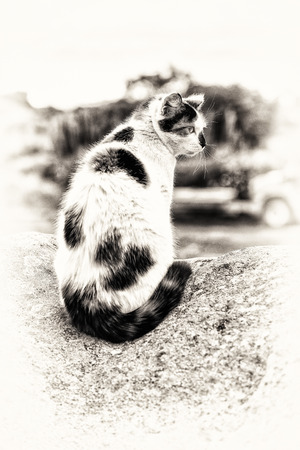 hillock: A sitting hybrid cat prowling on a hillock  Black and white fine art outdoors portrait of domestic cat