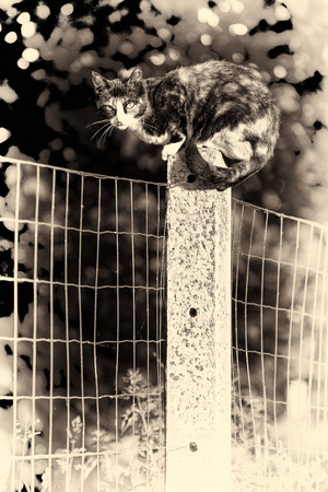 Sepia toned fine art portrait of domestic cat  Between two gardens an adult tortoise-shell female cat perched on a concrete post looking at camera photo