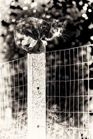 Black and white fine art portrait of domestic cat  Between two gardens an adult tortoise-shell female cat perched on a concrete post looking at camera  photo