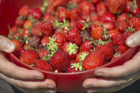 full red: In primo piano un colino rosso pieno di fragole appena raccolta