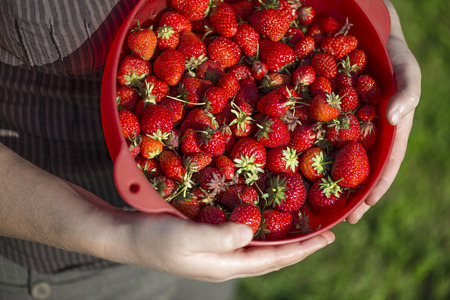 bird view: Bird view of a full red colander of organic strawberries freshly harvesting Stock Photo