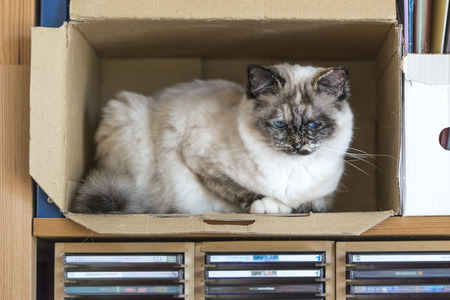 birman kitten: A seal tortie point Birman female cat perched inside a box.