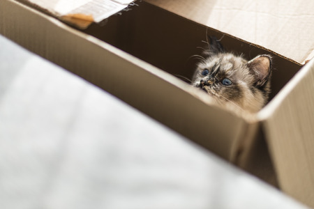 birman kitten: A seal tortie point Birman female cat inside a box. Color image portrait of purebred cat. Thirteen months old Stock Photo