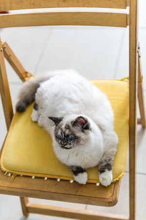 bird view: Bird view of a seal tortie point Birman female cat stretched out on a chair.