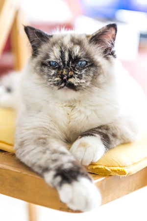 Closeup of a seal tortie point Birman female cat stretched out on a chair.