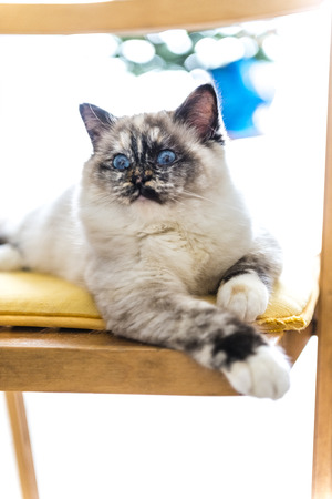 birman kitten: Seal tortie point Birman female cat stretched out on a chair. Color image portrait of purebred cat. Nine months old Stock Photo