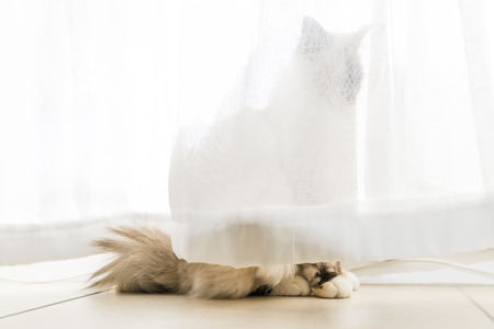 birman kitten: A seal tortie point Birman female cat in observation behind curtains of the windows.  Stock Photo