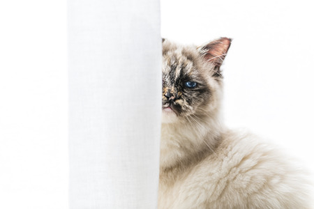 mustaches: Closeup of a seal tortie point Sacred of Burma female cat looking at camera masked partially by curtains.