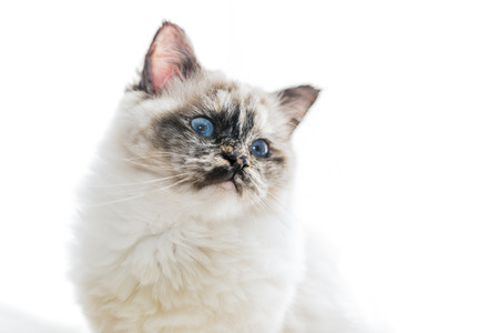 Closeup of a seal tortie point Birman female cat starring left white copy space.  Stock Photo