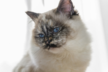 birman kitten: Closeup on head and shoulders of a Sacred cat of Burma female.