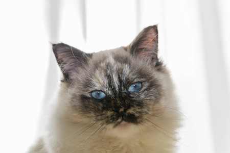 birman kitten: Color image portrait of purebred cat.  Stock Photo