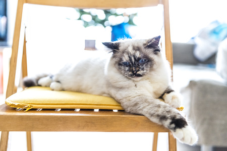 Seal tortie point Birman female cat lying on a chair disappointed.  photo