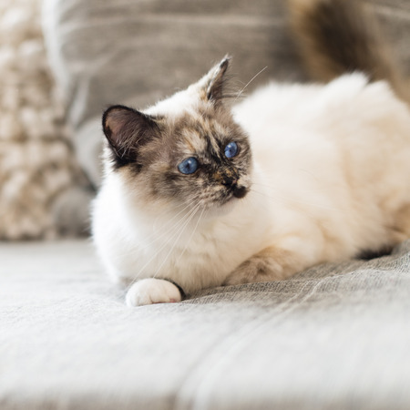 birman kitten: Focus on the head of a seal tortie point Birman female cat lengthened out on sofa. Stock Photo