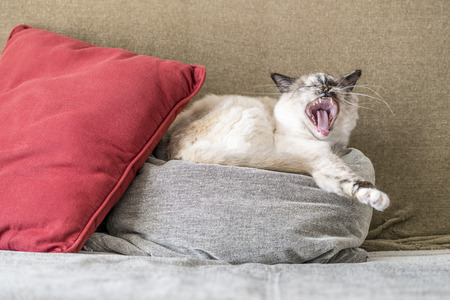 birman kitten: A seal tortie point Sacred of Burma female cat yawning on pillows of the sofa. Color image portrait of purebred cat. One year old. Stock Photo