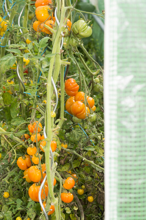 species of creeper: Closeup on orange group of organic tomatoes on the vine on green background. Ripe and unripe fruits. Summer Into a french Brittany garden of the house. Stock Photo