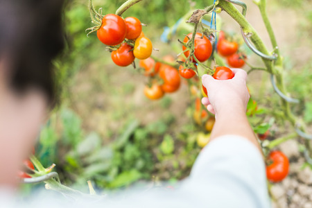 Focus on woman hand picking a red ripe tomato on the wine Into little greenhouse. Summer Into a vegetable garden french Brittany. photo