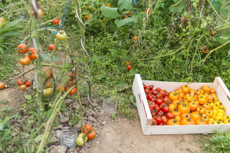 plants species: View into little greenhouse with tomato plants and a crate full of various species of organic tomatoes freshly harvesting. Summer Into a french Brittany garden of the house. Stock Photo