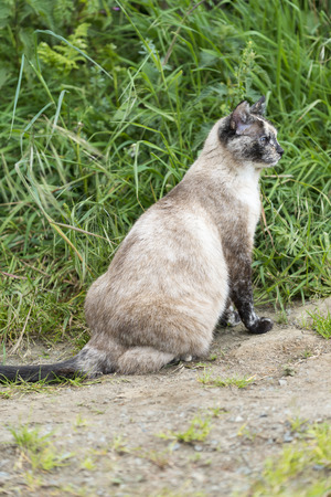 catechism: One cat is sitting and staring at something right side. Outdoors portrait of cute tortie cat in color developed color image.