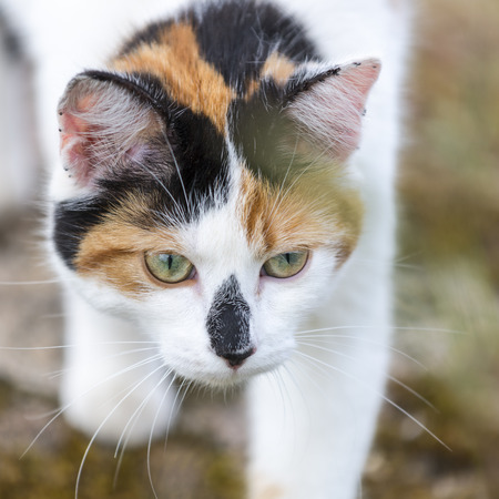 catechism: Closeup on head cat. This domestic animal Slowly walking. Outdoors portrait of mixed-breed cat. Color Image