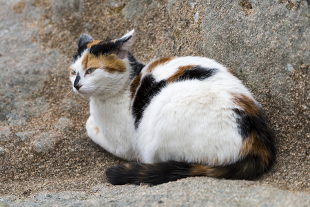calico whiskers: A cat prowling on a rock. Outdoors portrait of domestic cat. Color Image