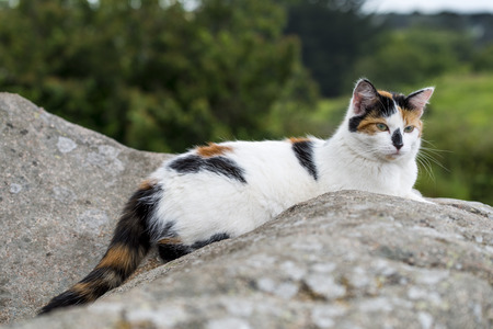 One cat lying on a rock and starring. Outdoors portrait of domestic cat. Color Image Stock Photo