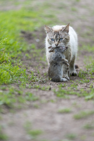 catechism: Return of hunting. A tabby cat walking with a young dead rabbit on ict mouth. Outdoors portrait of domestic cat. Color Image Stock Photo