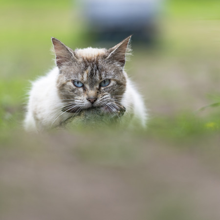 catechism: A tabby cat in the campaign with a young dead rabbit on ict mouth. Color image. Outdoors portrait of domestic cat.